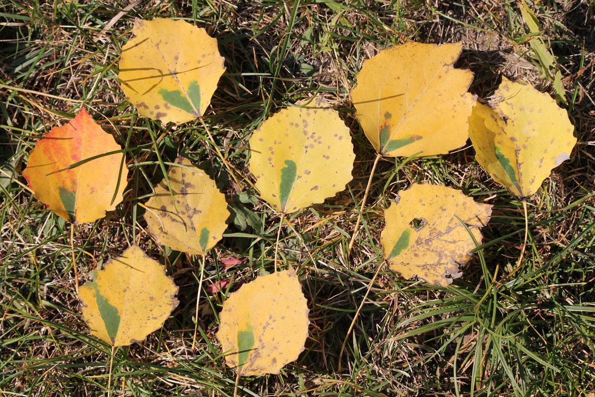 """Пожелтевшие листья осины, пораженные осиновой черешковой молью-крошкой (Ectoedemia argyropeza) с характерными """"зелеными окнами""""."""