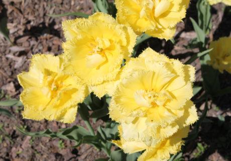 Тюльпан сорт Exotic Sun (Экзотик Сан)