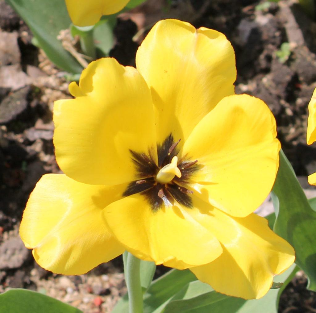 Тюльпан сорт Yellow Dover (Йеллоу Довер)