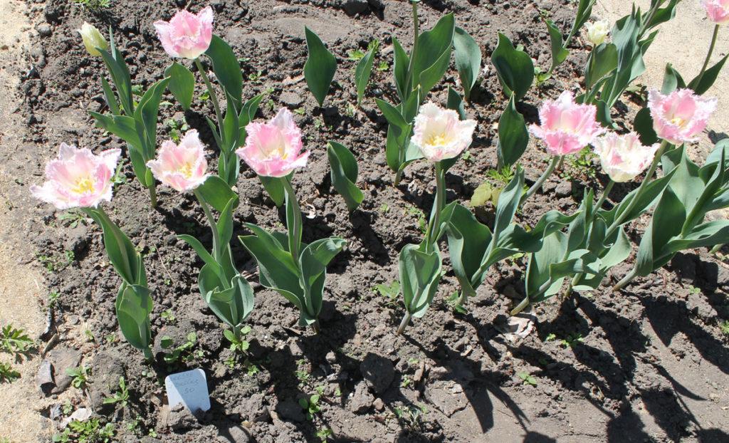Тюльпан сорт Dallas (Даллас)