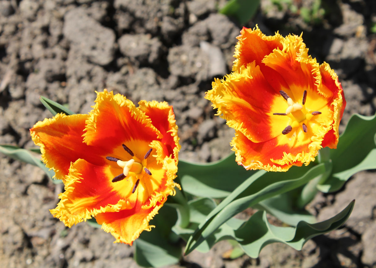 Тюльпан сорт Davenport (Давенпорт)