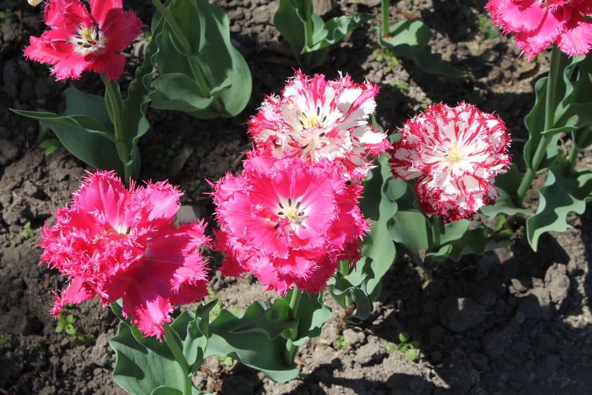 """Тюльпан 'Kingston' (Кингстон). Цветы со стандартной окраской и """"пестрые"""" цветы с проявлением вирусной пестролепестности тюльпанов."""