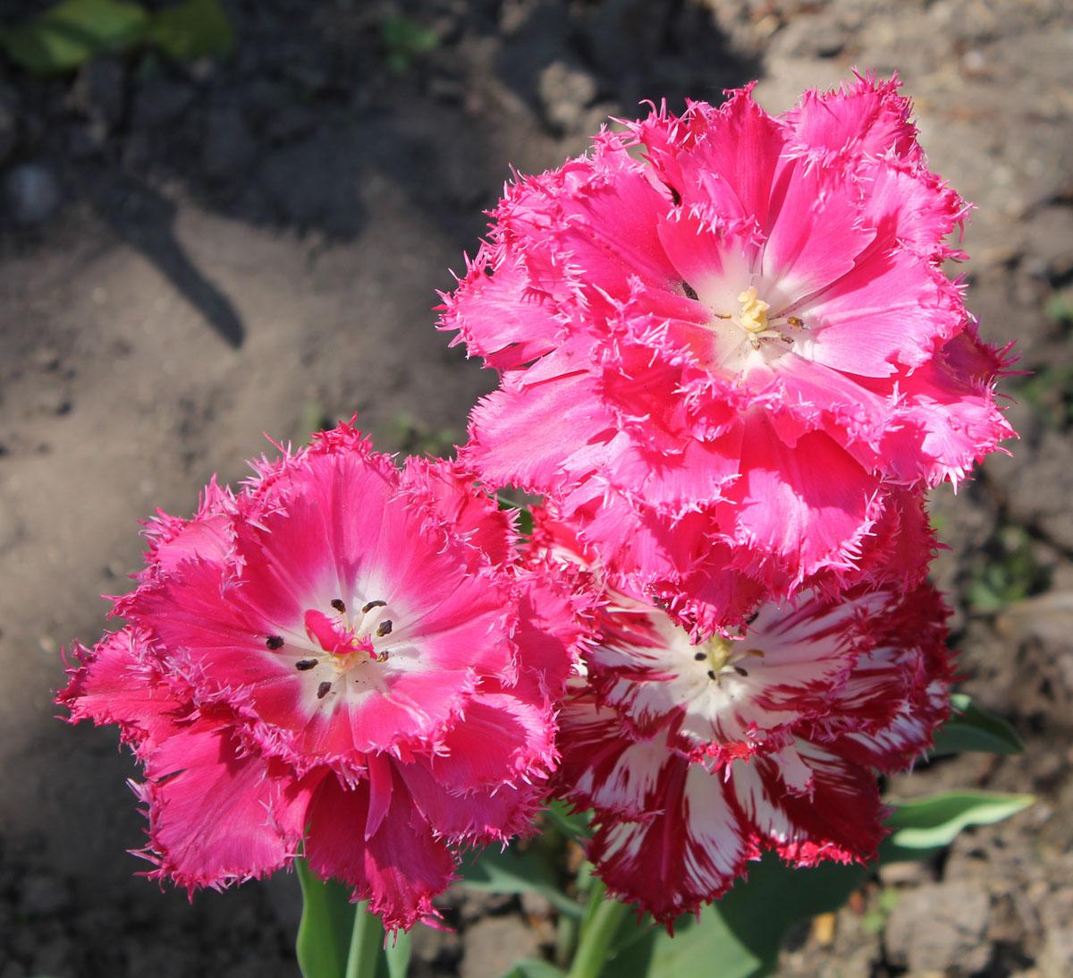 Тюльпан 'Kingston' (Кингстон). Два цветка со стандартной окраской и цветок с проявлением вирусной пестролепестности тюльпанов.