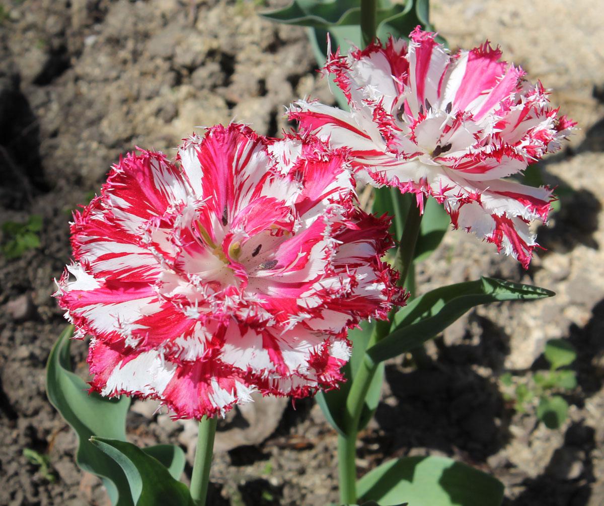 Тюльпан сорт 'Kingston' (Кингстон). Проявление вирусной пестролепестности тюльпанов.