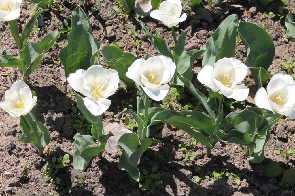 Тюльпан сорт Update (Апдейт)