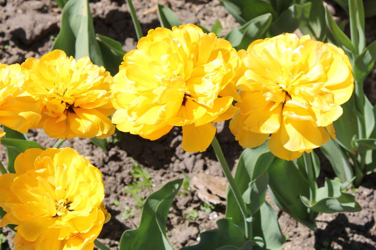 Тюльпан сорт Yellow Pompenette (Елоу Помпонетт)