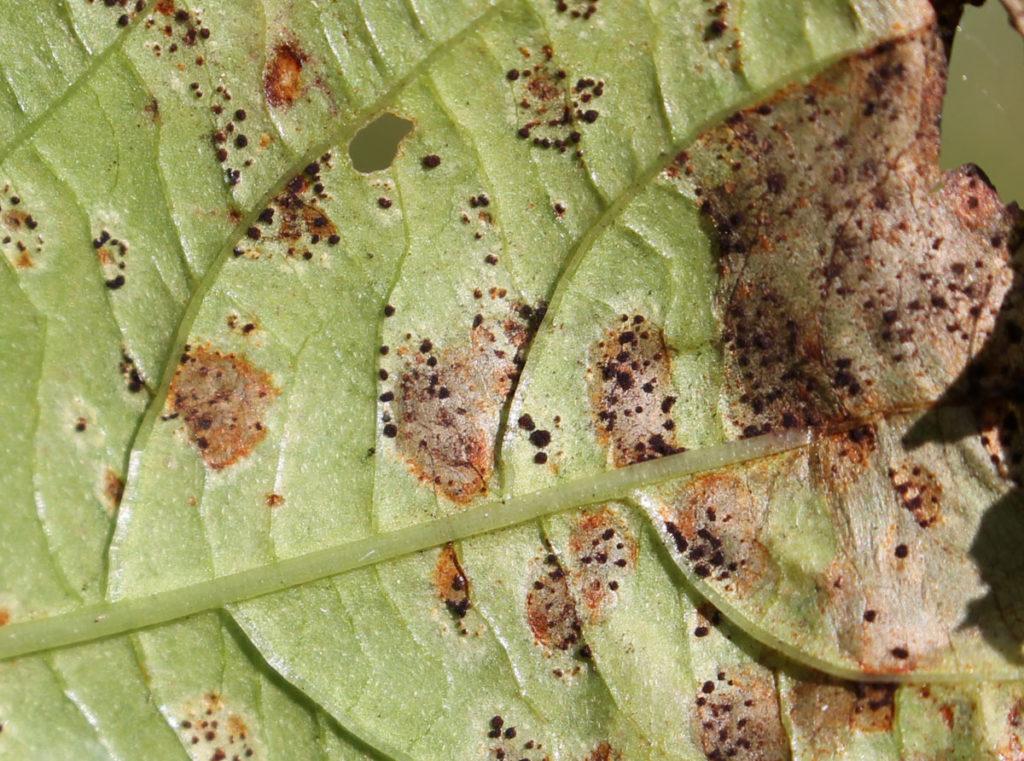 Телии Puccinia komarovii на нижней стороне листовой пластинки недотроги мелкоцветковой (Impatiens parviflora)