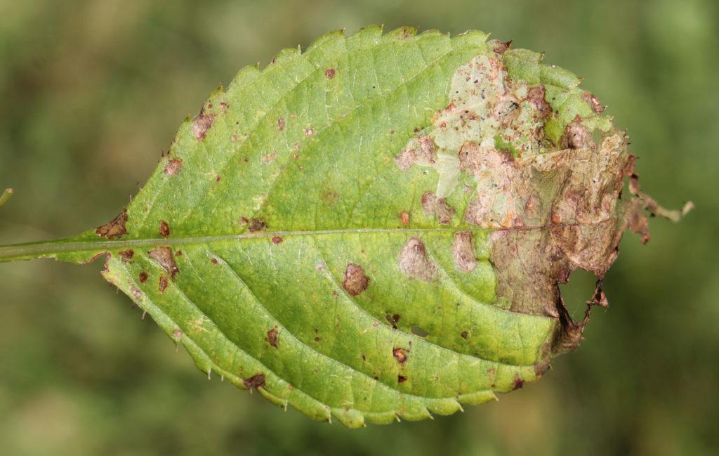 Симптомы ржавчины в виде желтоватых пятен на верхней стороне листовой пластинки недотроги мелкоцветковой (Impatiens parviflora), вызванные формированием телий Puccinia komarovii на нижней стороне листьев.