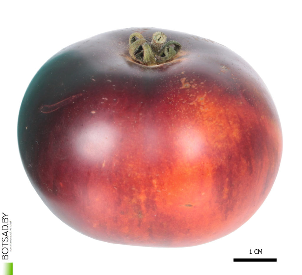 Томат сорт 'Indigo Apple' (Яблоко Индиго)