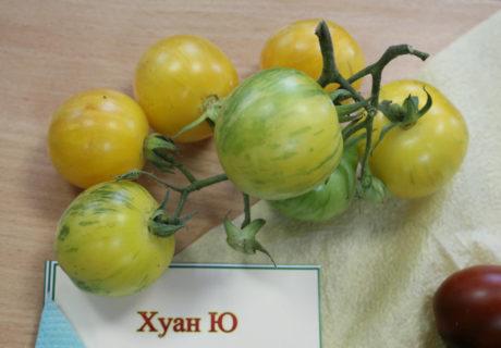 Томат сорт 'Huan U' (Топаз, Хуан Ю)