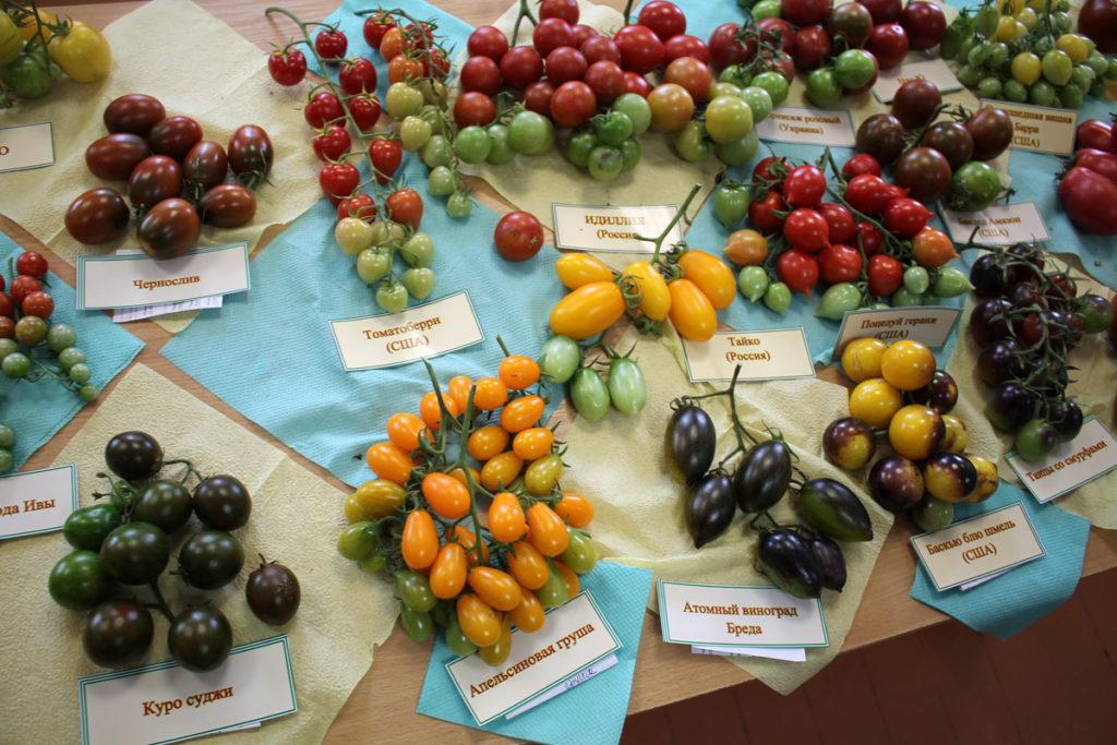 Томат сорт 'Pera Naranja' (Грушевый Апельсин) среди других сортов и гибридов на выставке