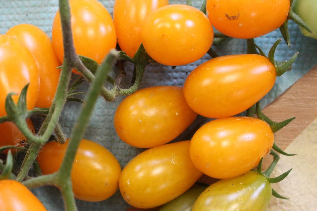 Томат сорт 'Pera Naranja' (Грушевый Апельсин)