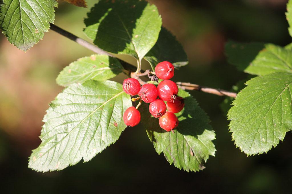 Рябина Хоста (Normeyera × hostii [=Sorbus x hostii])