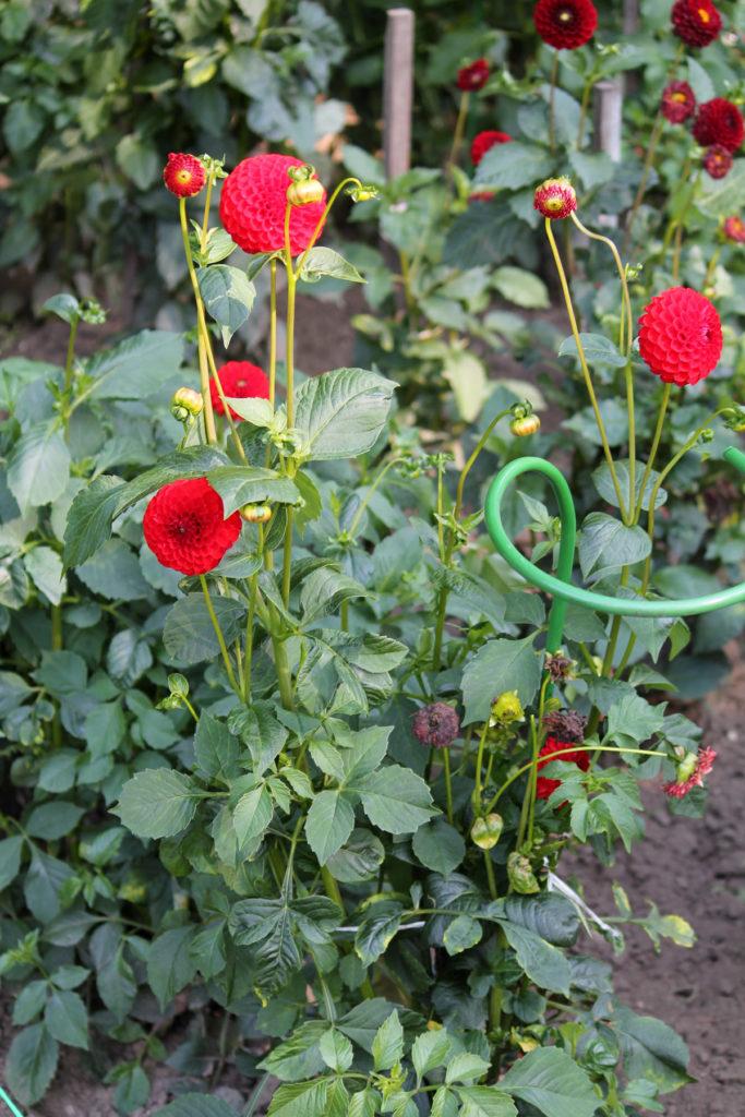 Георгина сорт 'Kochelsee'. Общий вид цветущего растения