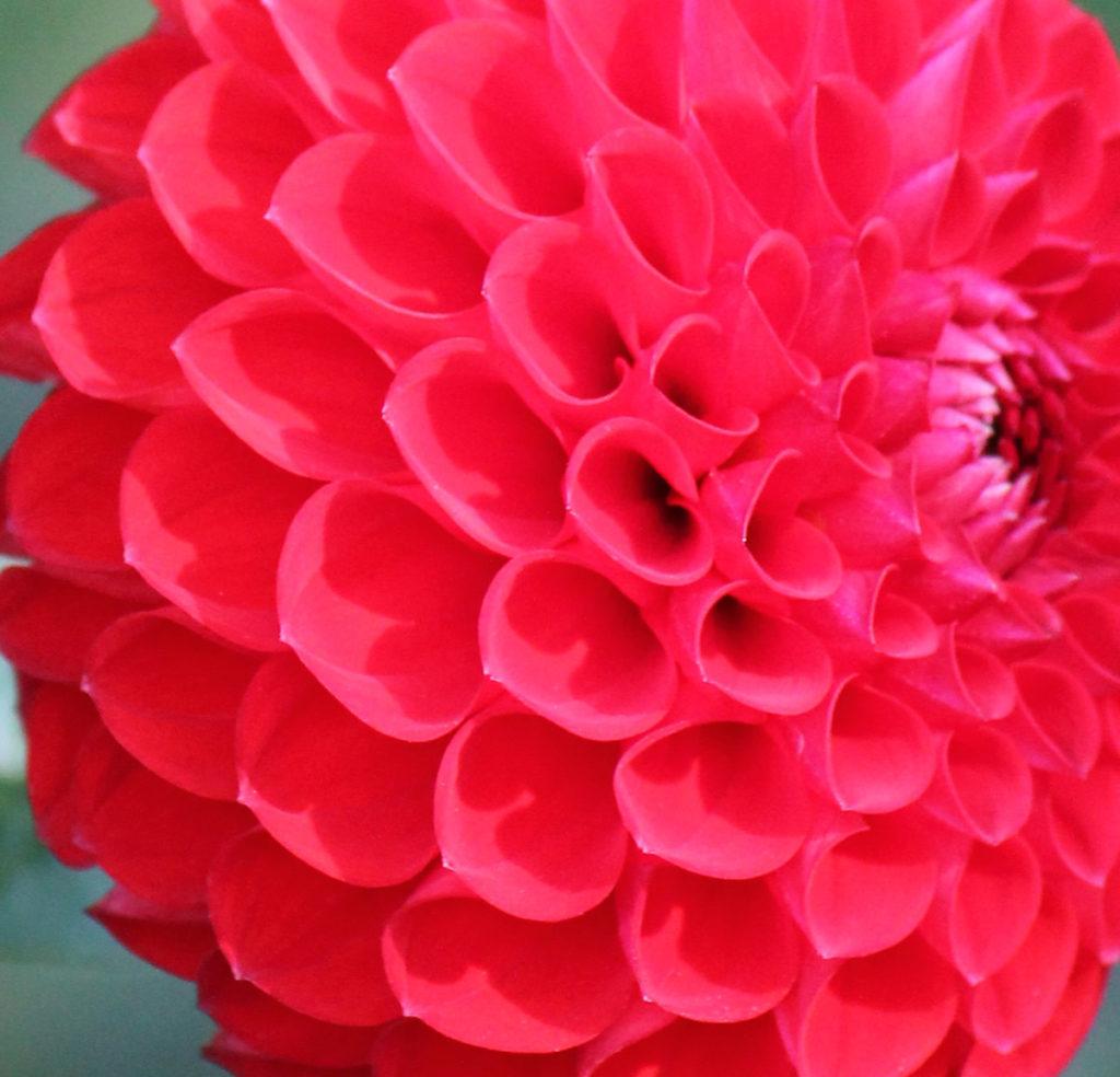 Георгина сорт 'Kochelsee'. Язычковые цветки крупным планом