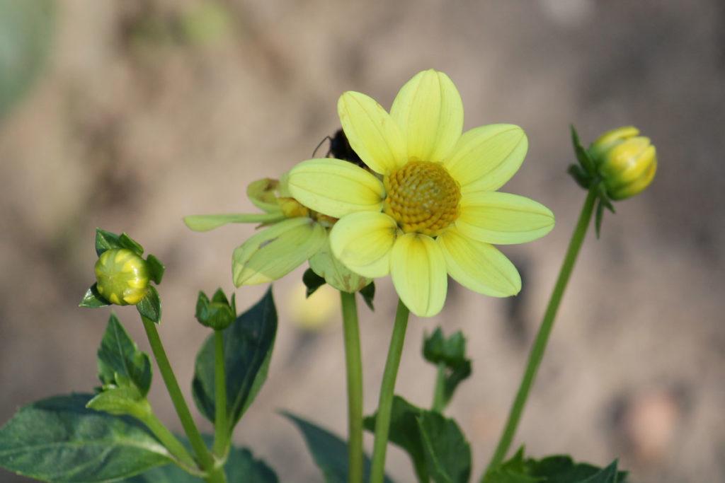 Георгина сорт Topmix Yellow (Топмикс Еллоу)