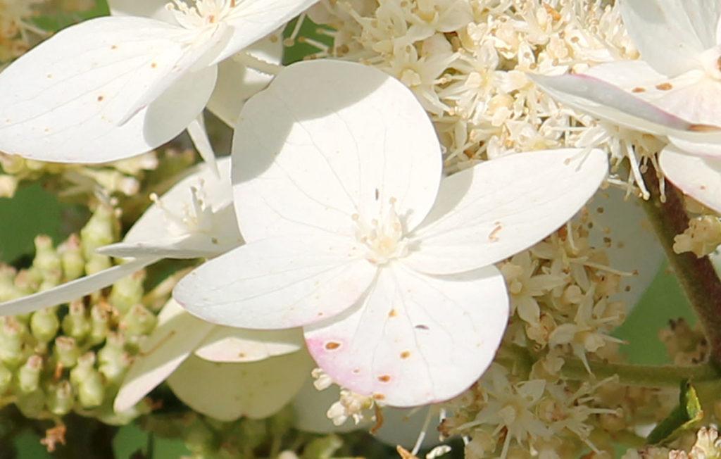 Гортензия метельчатая сорт 'Tardiva' (Тардива)