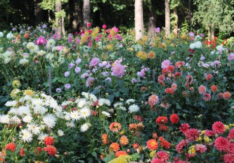 Коллекция георгин Центрального ботанического сада НАН Беларуси