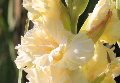 Гладиолус сорт Принцесса Индиана (414-С-2004 Трифонов)