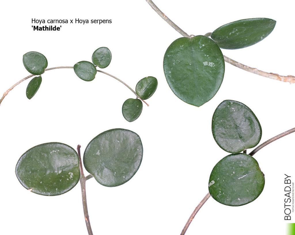 Hoya carnosa x Hoya serpens cv. Mathilde' (Матильда)