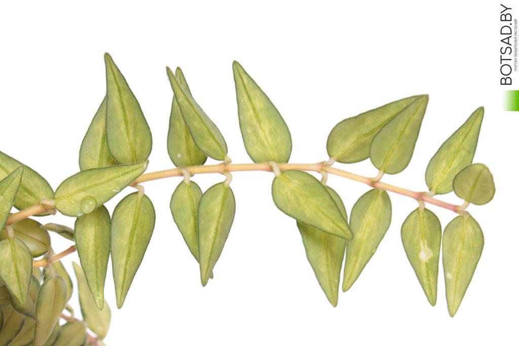 Hoya carnosa x Hoya serpens cv. 'Luis Bois' (Луис Буис)