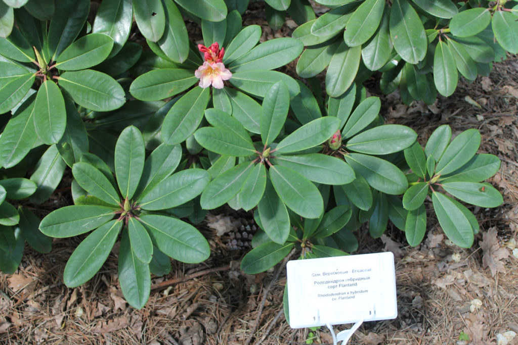 Рододендрон гибридный сорт 'Flautando' (Флаутандо)