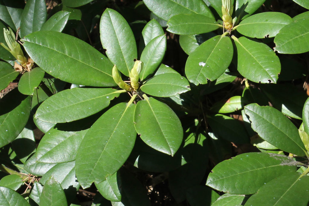Рододендрон гибридный сорт 'Hachmann's Polaris' (Поларис)