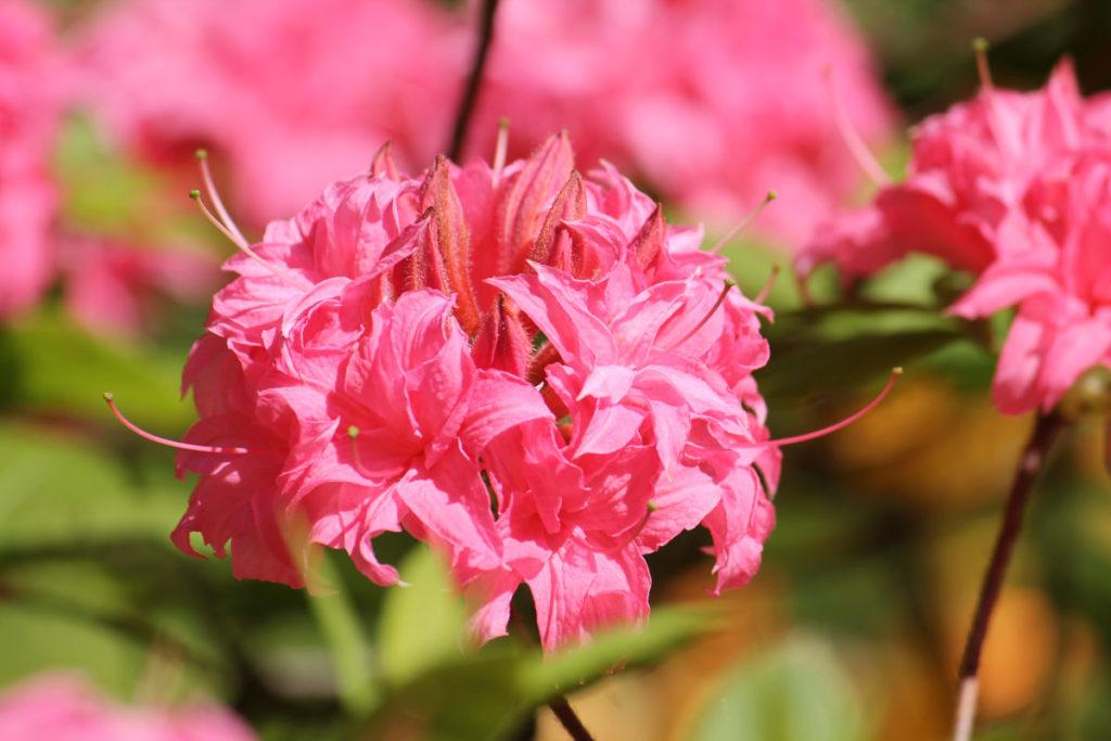 Рододендрон гибридный (азалия) сорт 'Homebush' (Хоумбуш)