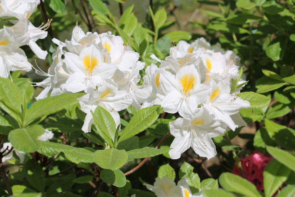 Рододендрон гибридный сорт 'Persil' (Персил)