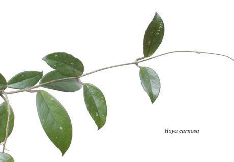 Hoya carnosa (Хойя карноза, Хойя мясистая, Восковой плющ)