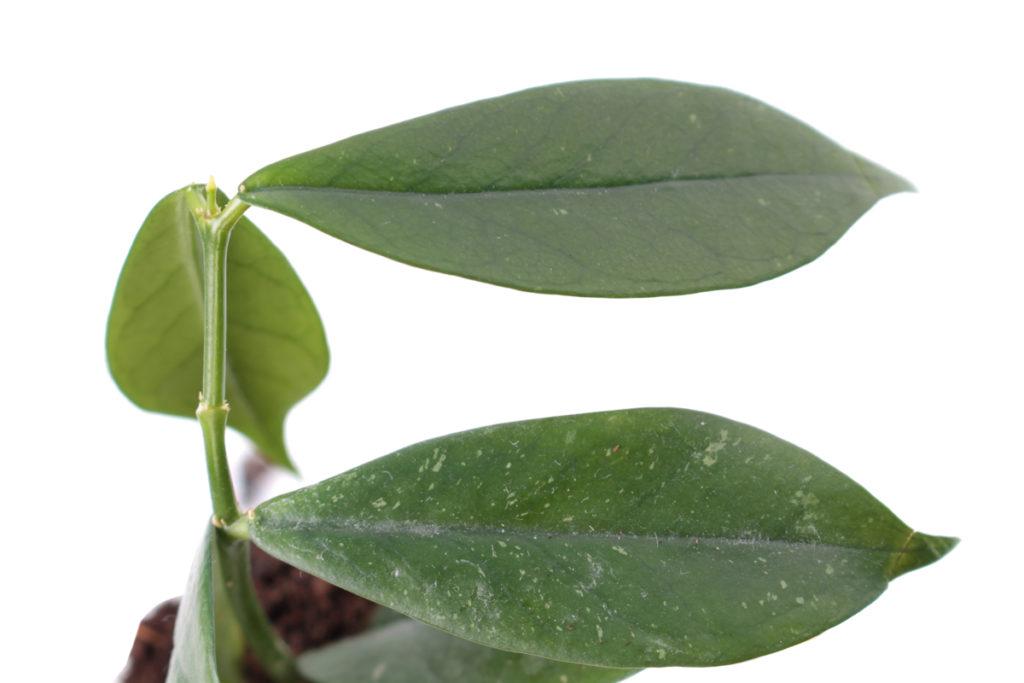 Hoya lobbii (Хойя Лобби)