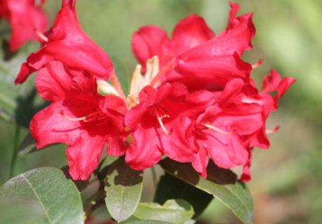 Рододендрона гибридный сорт 'Bengal' (Бенгал)