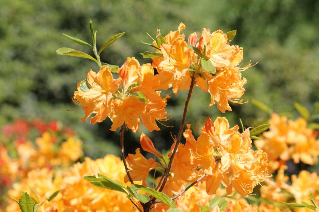 Рододендрон гибридный (азалия) сорт 'Golden Lights' (Голден Лайтс)