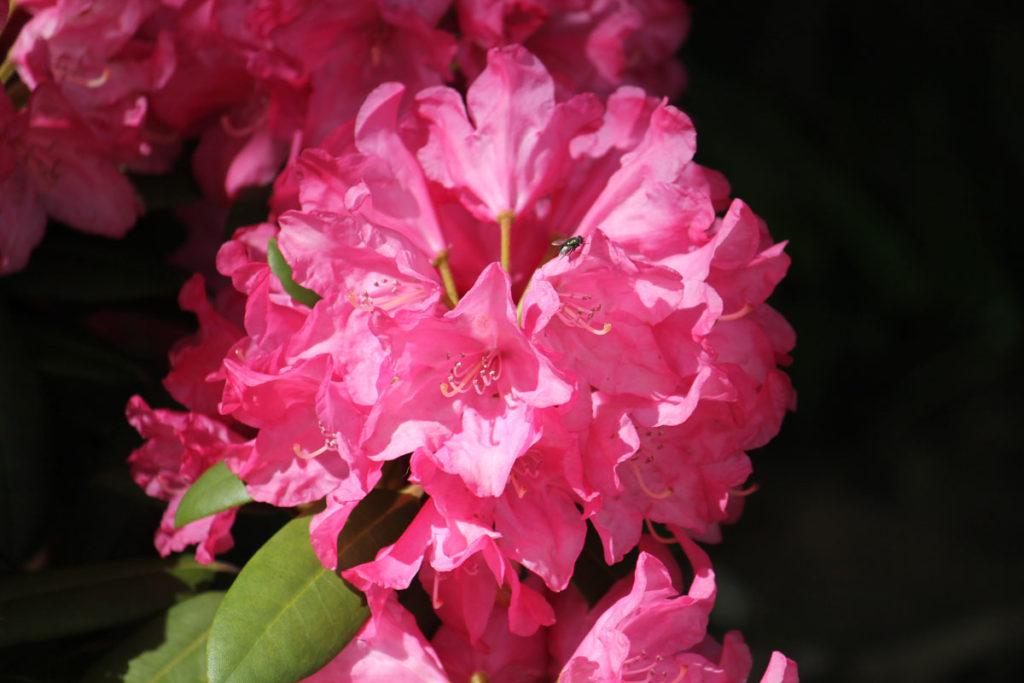 Рододендрон гибридный сорт 'Królowa Bona' (Кролова Бона)