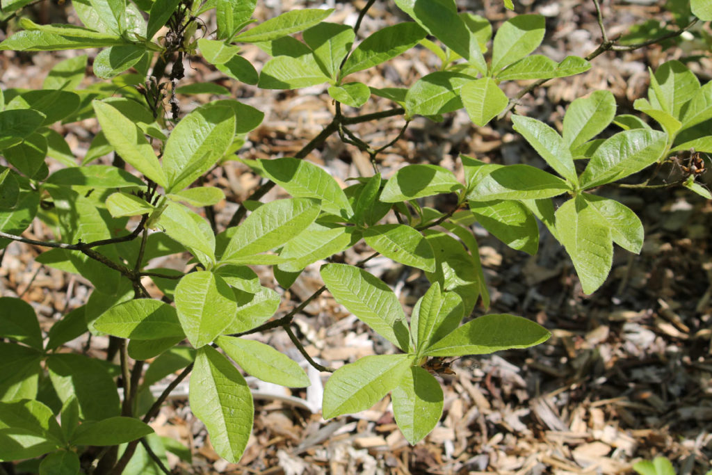 Рододендрон гибридный (азалия) сорт 'Sarina' (Сарина)