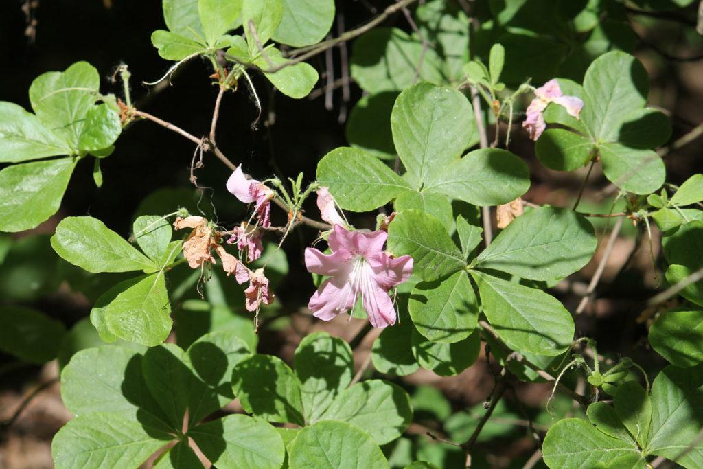 Рододендрон Шлиппенбаха (Rhododendron schlippenbachii)