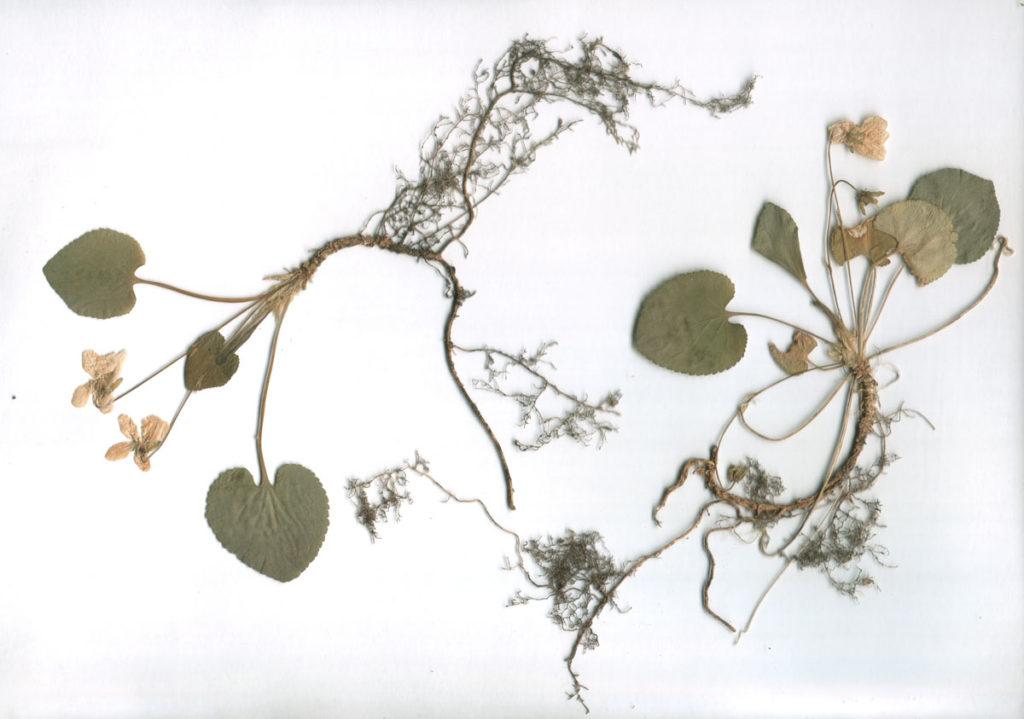 Гербарные экземпляры фиалки душистой (Viola odorata)