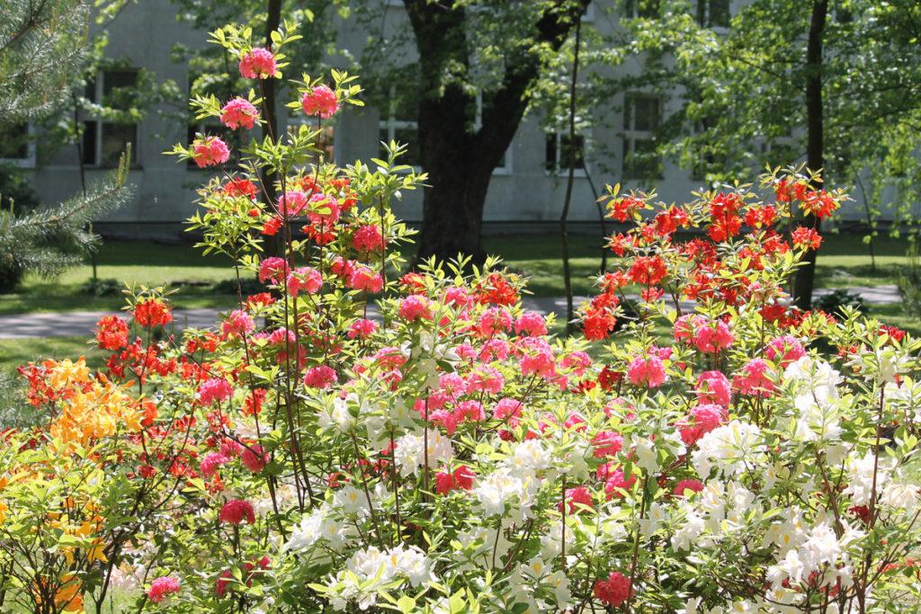 Группа садовых азалий в ботаническом саду. Сорта: 'Persil', 'Goldpracht', 'Fireball', 'Homebush'.