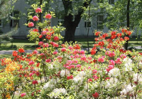 Группа садовых азалий в ботаническом саду
