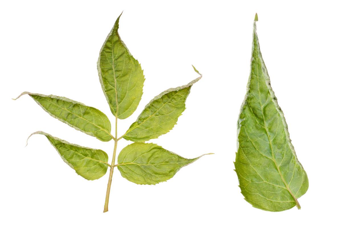 Повреждение листа бузины красной (Sambucus racemosa), вызванные бузиновым листовым клещом (Epitrimerus trilobus)