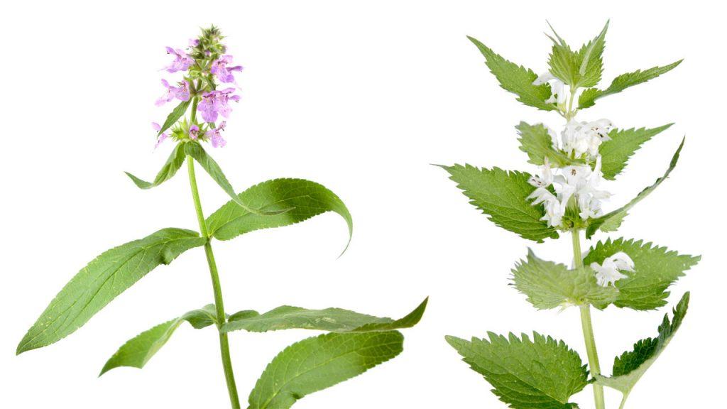Чистец болотный (Stachys palustris) и Яснотка белая (Lamium album) – вторичные хозяева галловой тли смородины.