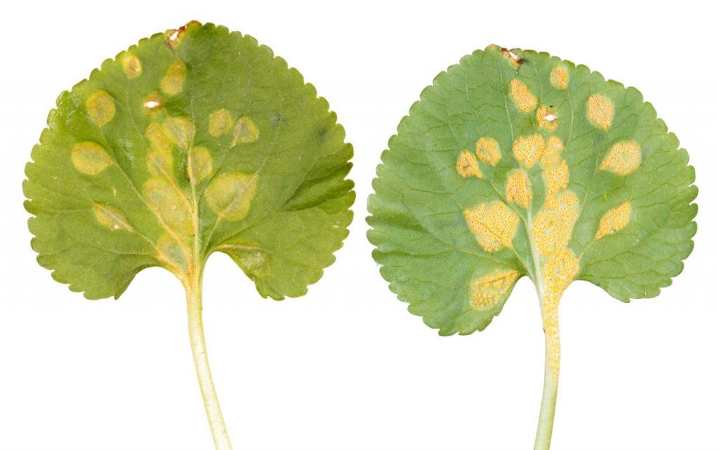 Симптомы ржавчины фиалки, вызванной Puccinia violae, на нижней и верхней стороне листа фиалки душистой (Viola odorata)