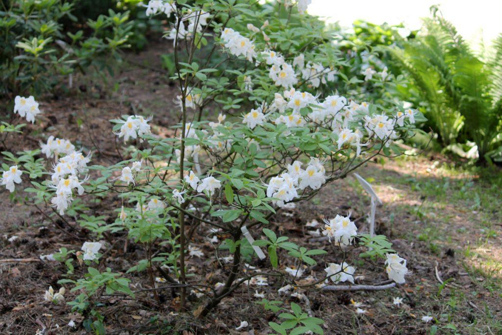 Рододендрон гибридный сорт 'Möwe' (Мове) в конце цветения - ряд сортовых признаков не проявлен (гофрированность и розоватость краёв лепестков)