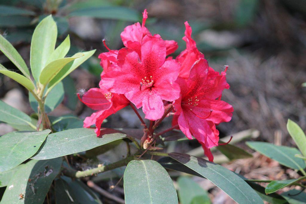 Рододендрон гибридный сорт 'Taragona' (Тарагона)