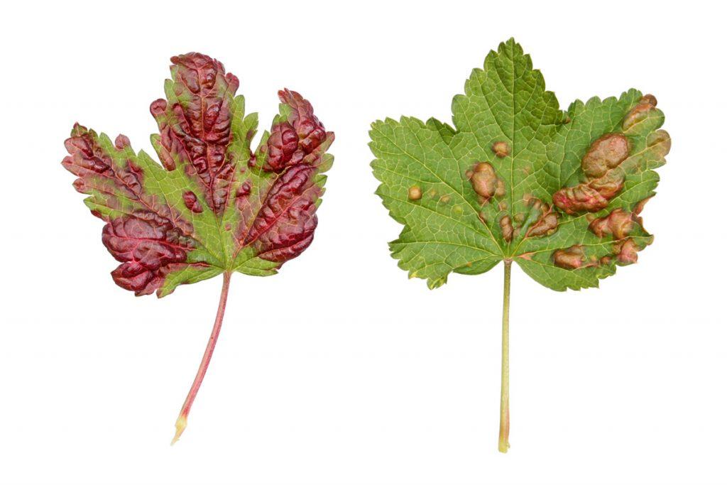 Симптомы заражения галловой тлёй смородины (Cryptomyzus ribis) в форме красных вздутий на верхней стороне листьев красной смородины.