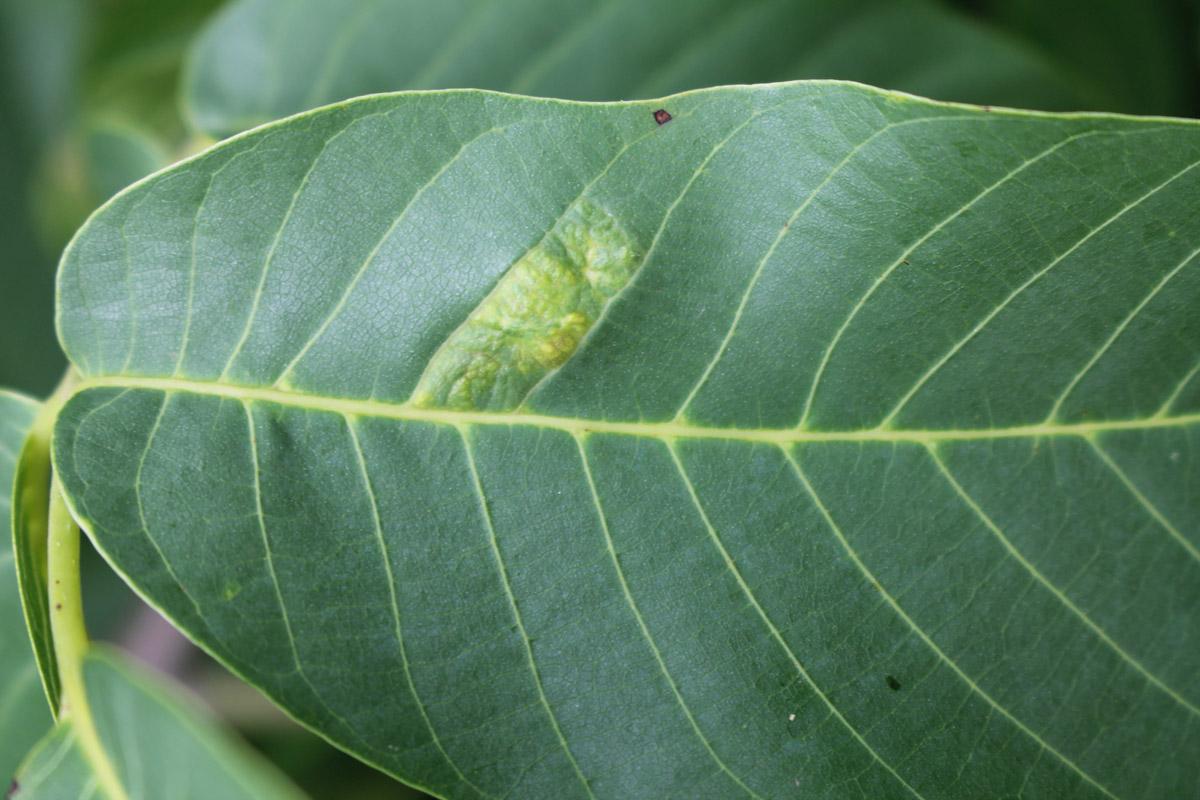 Повреждение, вызванное ореховым войлочным клещом (Aceria erinea) на верхней стороне листа грецкого ореха