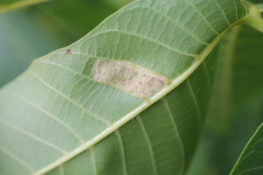 Повреждение, вызванное ореховым войлочным клещом (Aceria erinea) на верхней стороне листа грецкого ореха.