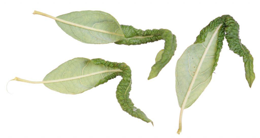 Галлы Euura leucapsis (=Phyllocolpa leucapsis) на листьях ивы ушастой (Salix aurita)