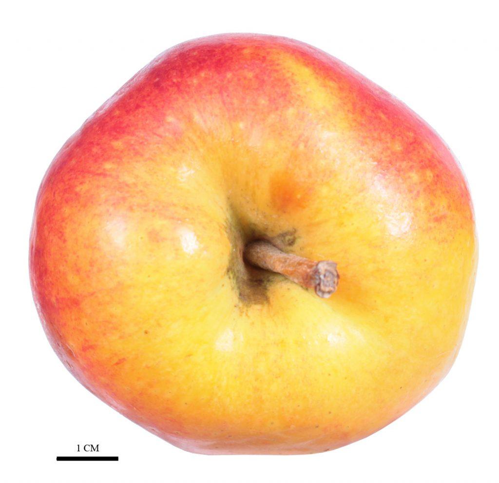 Яблоня сорт 'Fengapi' (Tessa®)