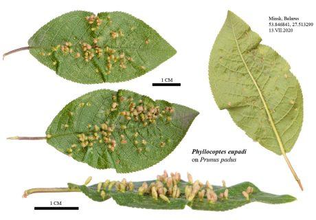 Листья черёмухи (Prunus padus) поврежденные черёмуховым галловым клещом (Phyllocoptes eupadi)